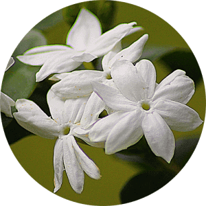 jasmine_essential_oil