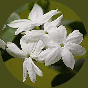 jasmine_essential_oil