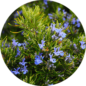 rosemary_essential_oil